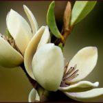 piante-di-magnolia