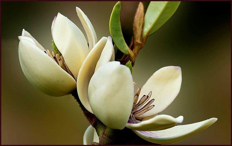 Piante di magnolia: tutto quello che c'è da sapere